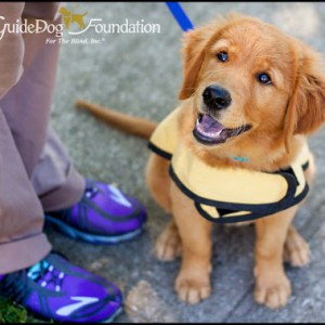 guide-dog-in-training-puppy-with-vest