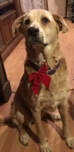 It's a dogs life picture of Lilly with a red bow