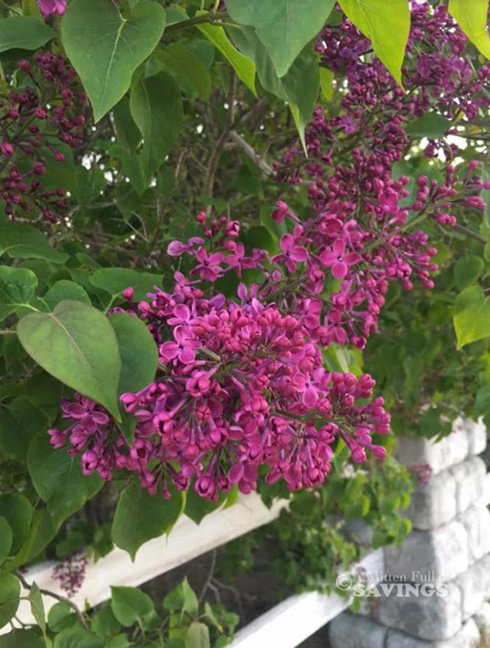 Lilac Festival on Mackinac Island