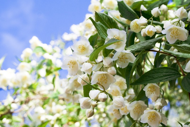 jasmine flowers to promote peace