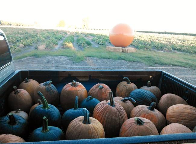 Pumpkins in the back of a truck
