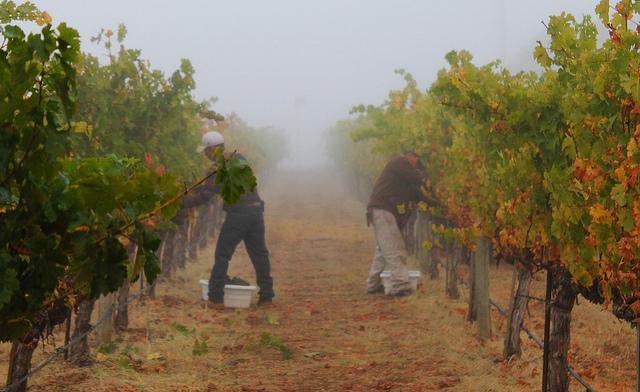 Mastro Scheidt Vineyard harvest