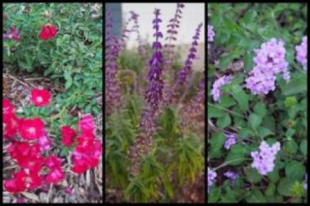 "Ground cover roses, ""Santa Barbara"" Mexican Sage, & Purple Lantana are all excellent drought-tolerant choices once established."