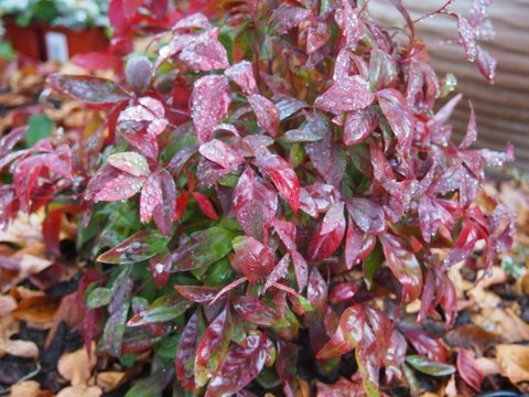 Dwarf Nandina turns from chartreuse to garnet as winter takes hold