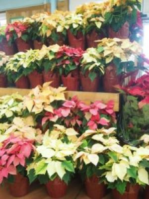 The FresYes Garden: Poinsettias