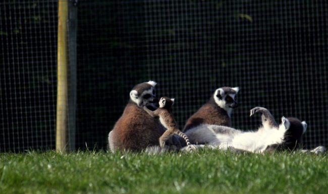 Sometimes parenting feels like monkey err... lemur business?