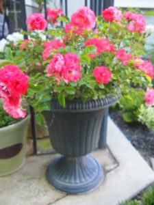 Coral ground cover rose works perfectly in a pot.