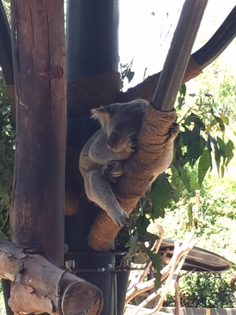 You know you wish you could hug a koala.
