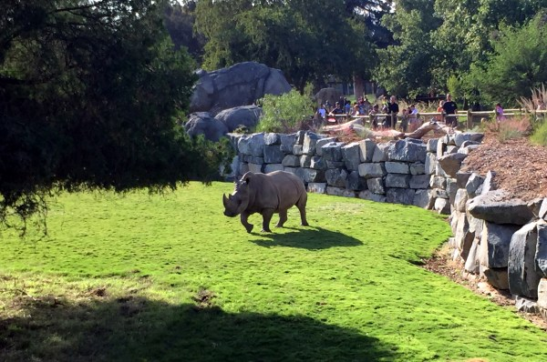 We have rhinos in Fresno again! (Two white rhinos to be specific!)