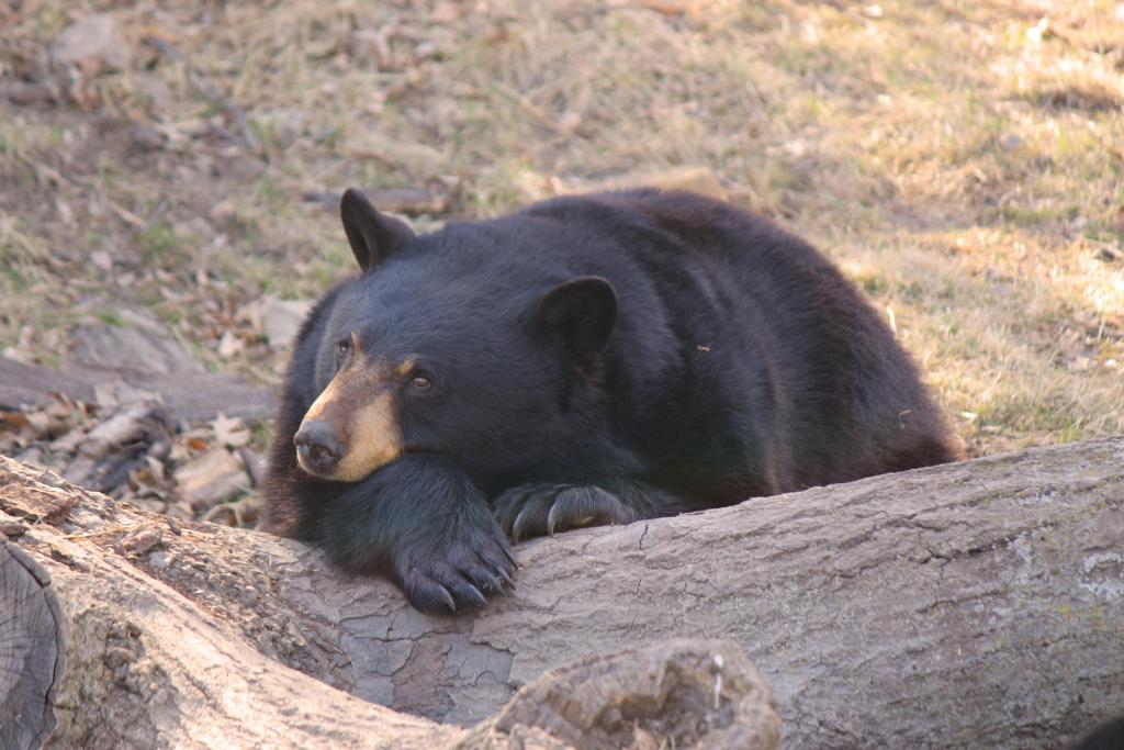 This is a bear probably daydreaming about eating a marmot. ;)
