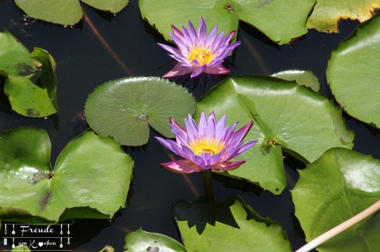 Lotusbluete-08