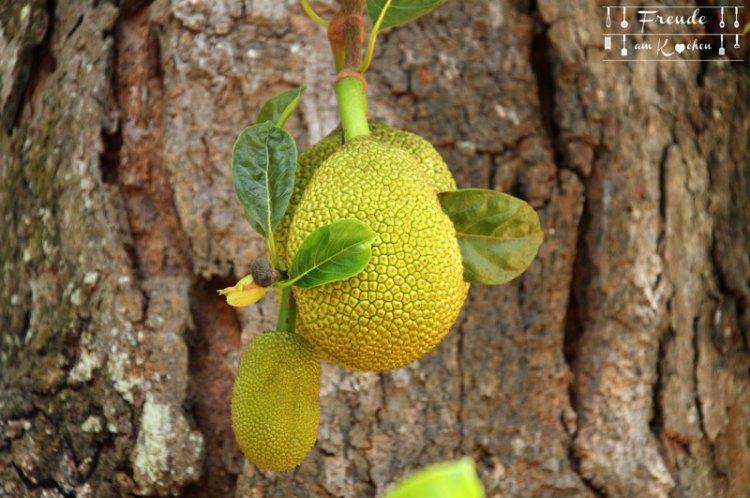 Jackfruit - Botanischer Garten -- Kandy - Reisebericht Sri Lanka - Freude am Kochen