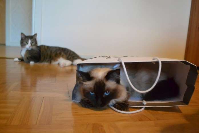 bored cats, ragdoll in paper bag