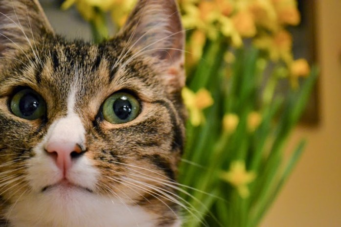 disa the cat stares into abyss with daffodils in background