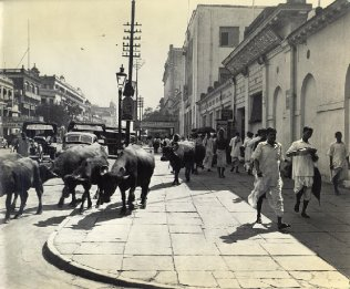 This buffalo herd's movements seem to be guided by whim alone and are typical of the complete indifferenceto traffic control by man and animal alike. this is Old Court House street, one of Calcutta's busiest. In left background is Great Eastern Hotel, Calcutta's best, used by U.S. Officers as a billet.