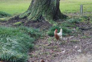 Our neighbors' chickens.