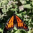 A monarch butterfly on Monarch butterfly on an anise hyssop in the author's garden.