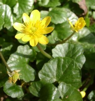 Lesser Celandine, Ranunculus Ficaria. Feb. 6th, 2016