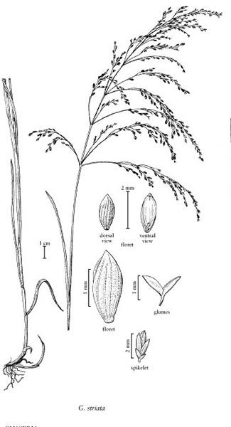 Fowl Mannagrass, Glyceria striata (lam.) Hitchc.