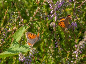 Small Coppers on Heather