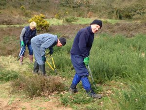 Clearing Gorse