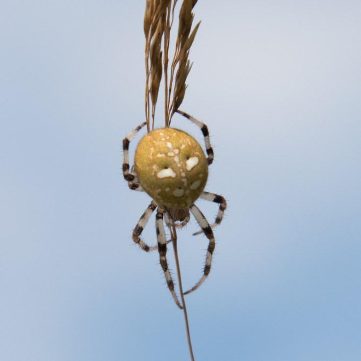 Four-spotted Orb Weaver spider - Araneus quadratus