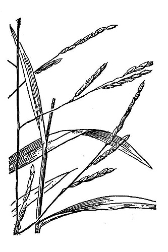 Cutgrass, Whitegrass, Leersia virginica Willd.