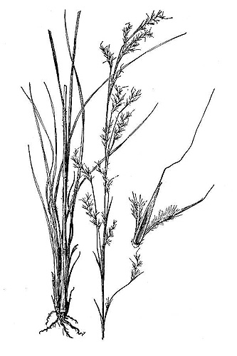 Little Bluestem, Schizachyrium scoparium (Michx.) Nash var