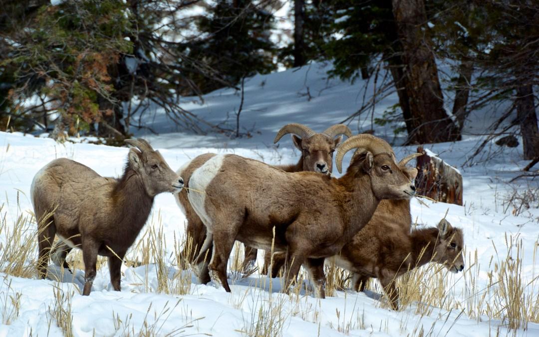 Bighorn Flock