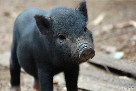 Babyschwein (Foto: be_khe/Flickr)