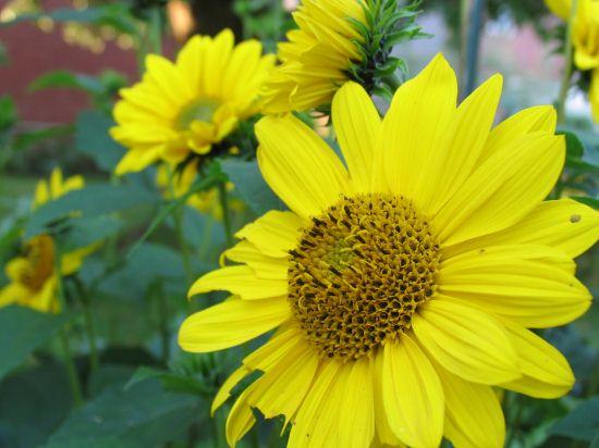 Einjhrige Blumen