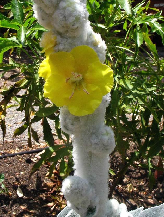 Verbascum bombyciferum 'Arctic Summer'.