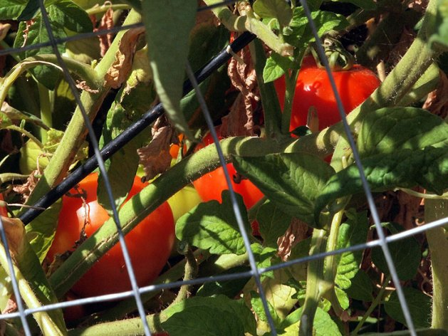 tomatoes in deer fence