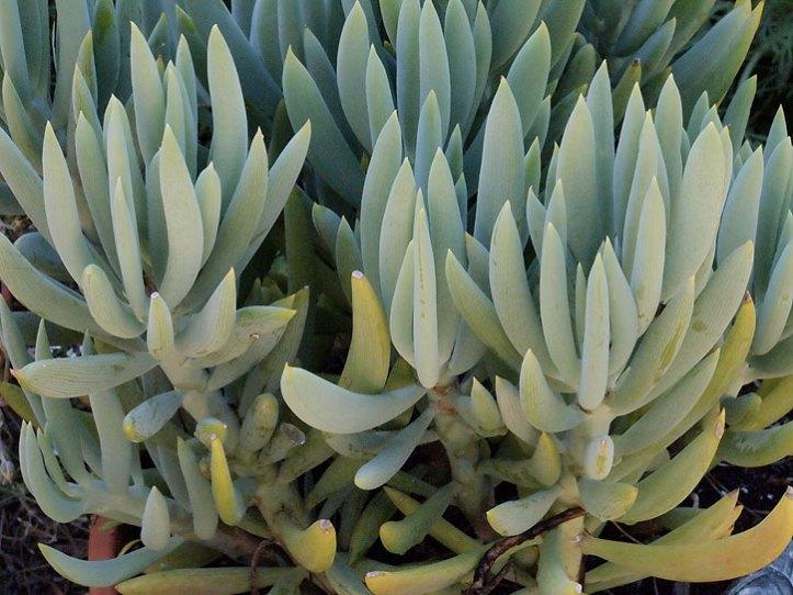 Senicio talinoides ssp azoides