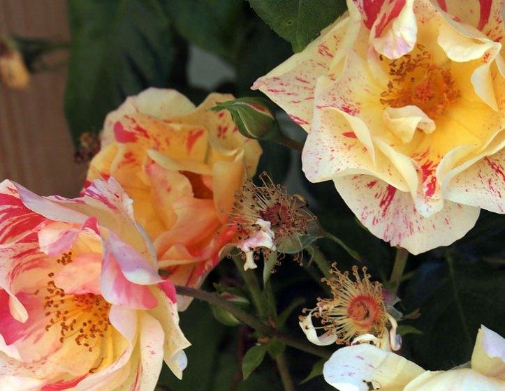 Citrus Burst Rose flowers