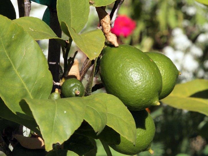 Limes, May 2016