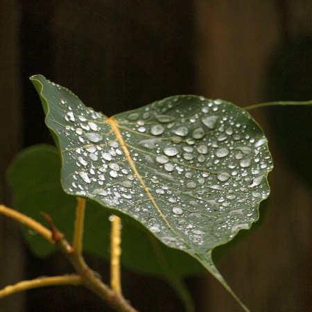 Raindrops on Ficus religiosa (Buddha Tree) leaf.