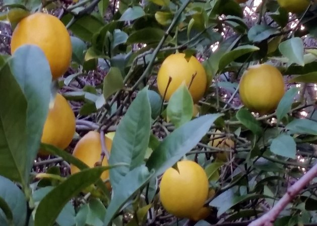 Lemons, February 2017. This tree provides all the lemons we need, year round.