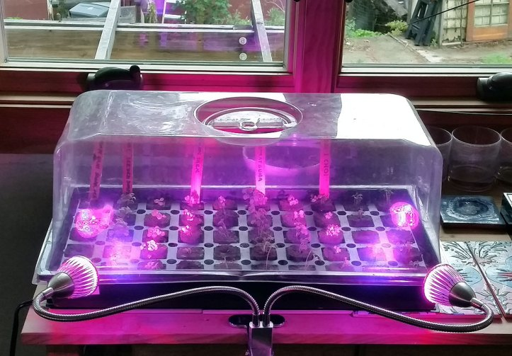 Propagating seeds with heat lamp, rapid rooter plus, and LED grow lights.