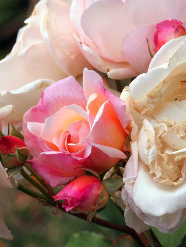 Gruss an Aachen rose flowers.