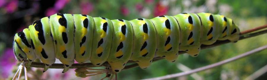 Swallowtail caterpillar detail.