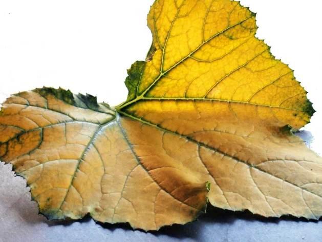 Yellowfin yellow zucchini leaf.