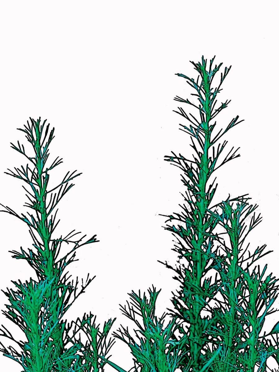 Artemisia californica, California Sagebrush