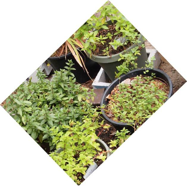 Clockwise from top, Vietnamese mint, Spearmint, Mohito mint, Peppermint.