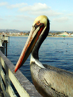 pelican at santa cruz boardwalk