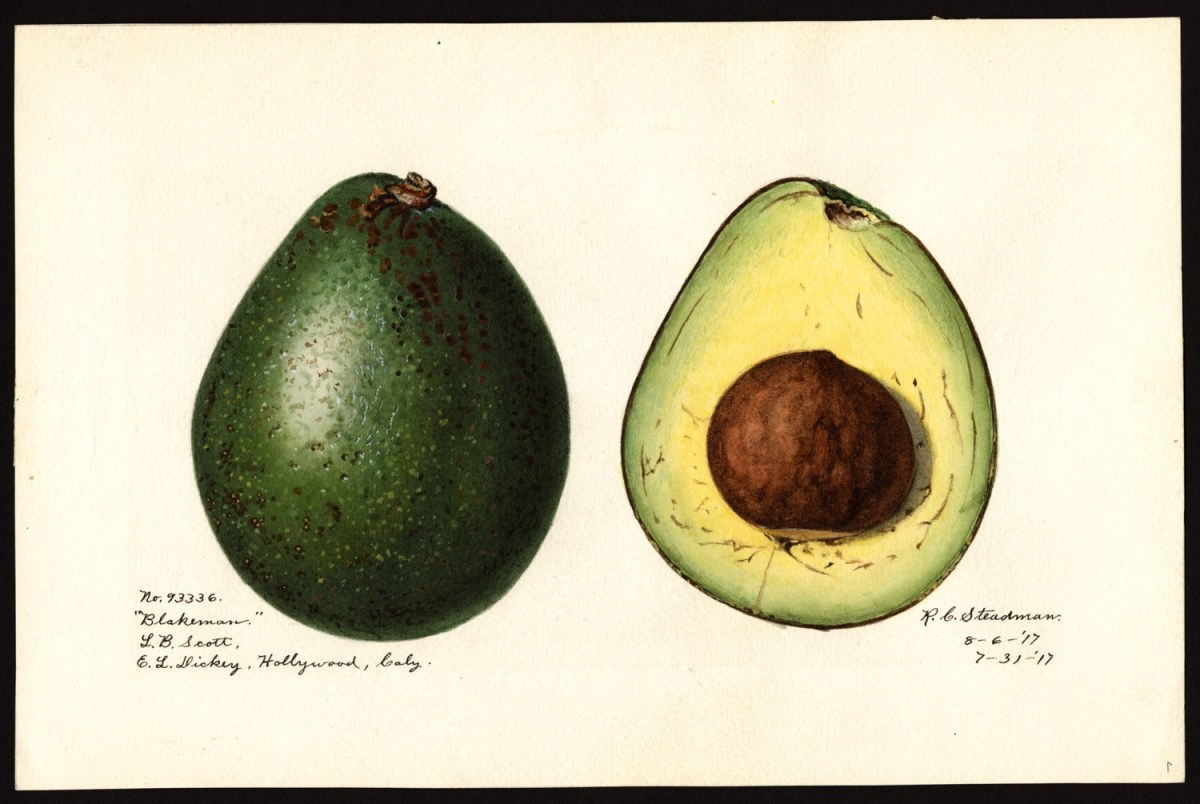 Royal Charles Steadman, avocado, 1915, (fonte: U.S. Department of Agriculture Pomological Watercolor Collection. Rare and Special Collections, National Agricultural Library, Beltsville, MD 20705)