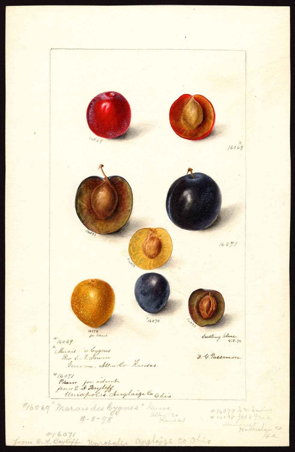 Deborah Griscom Passmore, prugna, 1898, (fonte: U.S. Department of Agriculture Pomological Watercolor Collection. Rare and Special Collections, National Agricultural Library, Beltsville, MD 20705)
