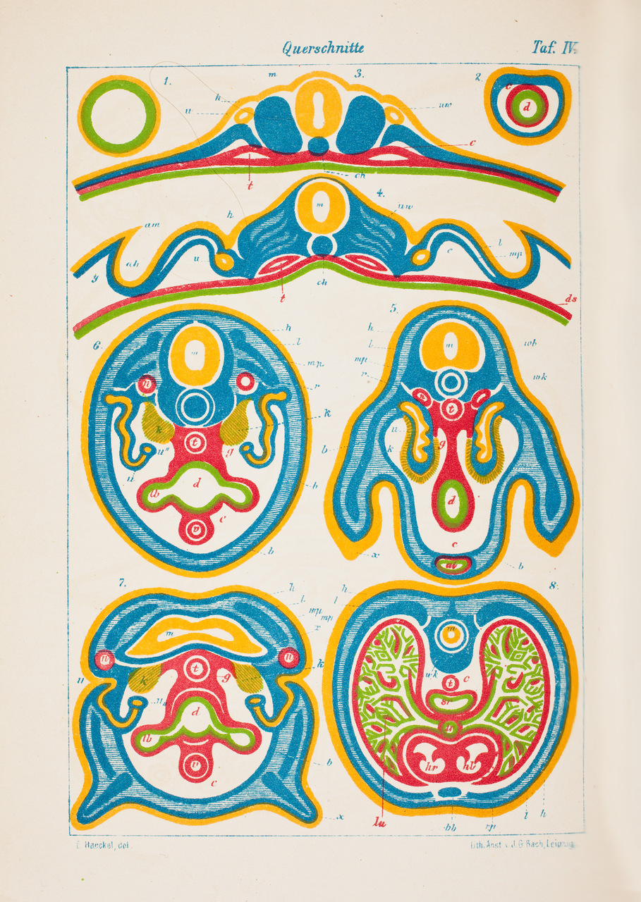 """Strati di cellule nell'embrione. Tavola tratta da """"Anthropogenie, oder, Entwickelungsgeschichte des Menschen"""", 1874, di Ernst Haeckel (1834-1919)"""