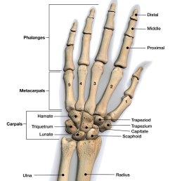 bones of the hand and wrist [ 950 x 1090 Pixel ]