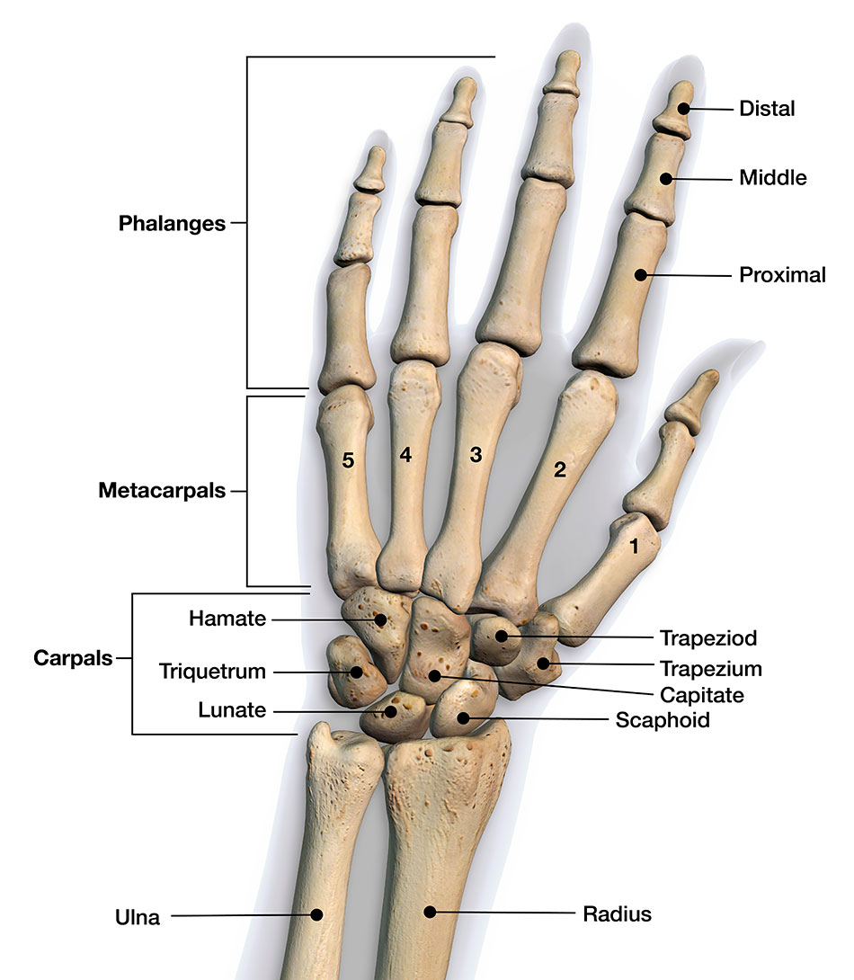hight resolution of bones of the hand and wrist